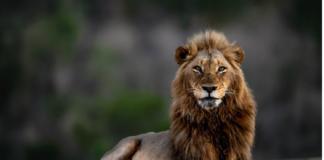 Lionscape